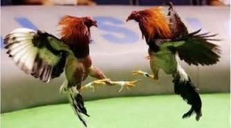 pelea de gallo chelo papeleta invitaci 243 n para participar del i ceonato de criadores