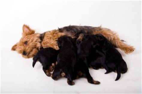 pug gestation period canine pregnancy symptoms pregnancy signs canine gestation perio