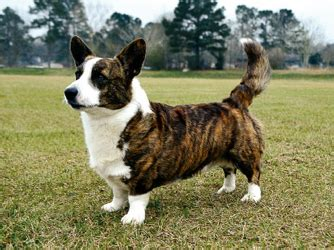 dogs that start with c breeds that start with c pets world