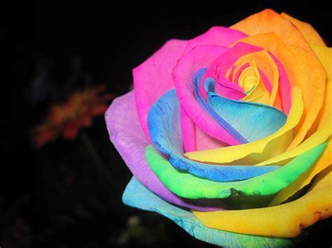 imagenes de rosas diferentes colores las rosas arco iris son una realidad