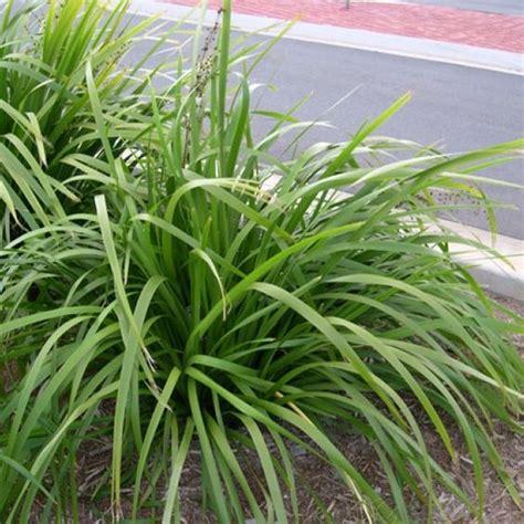 http www bluedaleplantsonline com au shop strappy leaf plants native slender mat rush 42