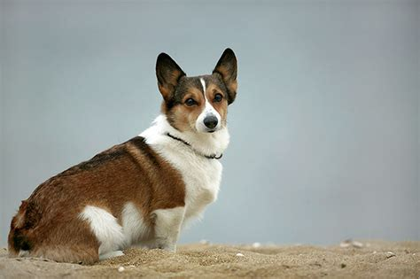 pictures of corgi dogs image gallery gorgi