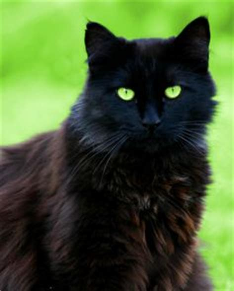 big fluffy black cats on black cats fluffy cat and black