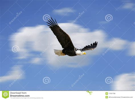 Flying Eagle Fast Blade Black Blue flying eagle stock photo image of nature brown bald 17931768