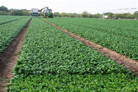 Spinach Garden by Experts Variety Strong Spinach Alternative For
