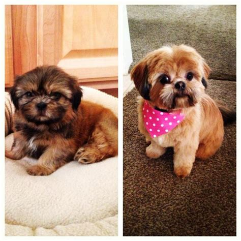 mahogany shih tzu hairstyles pictured on this page are a few past puppies
