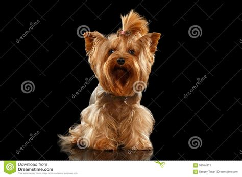 black mirror yorkie closeup yorkshire terrier dog standing on black mirror