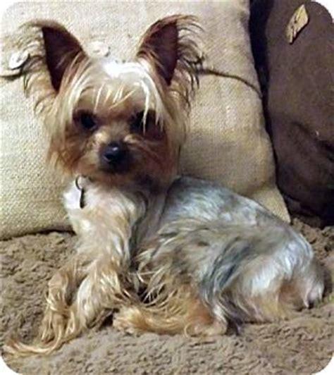 yorkie atlanta cooper adopted puppy atlanta ga yorkie terrier