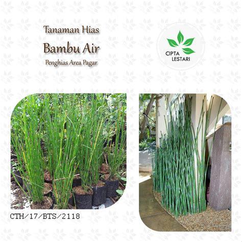 jual tanaman hias bambu air pohon  hias pagar