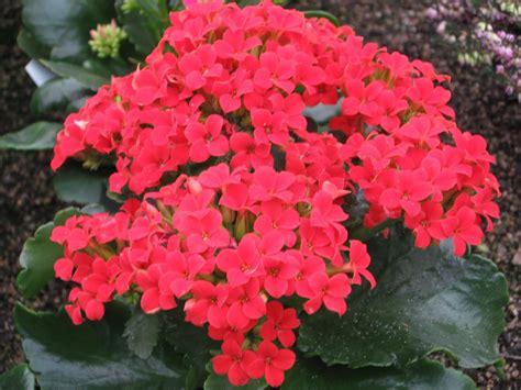 top 28 kalanchoe plant outside life among the leaves
