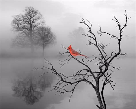 cardinal bird home decor wall photo print b w