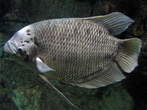 Freshwater Fish by Giant Gourami