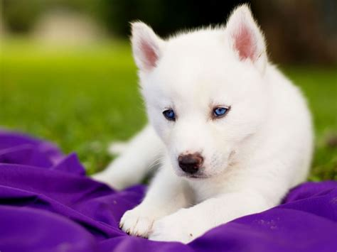puppy with blue cowboy corgi puppies puppies puppy