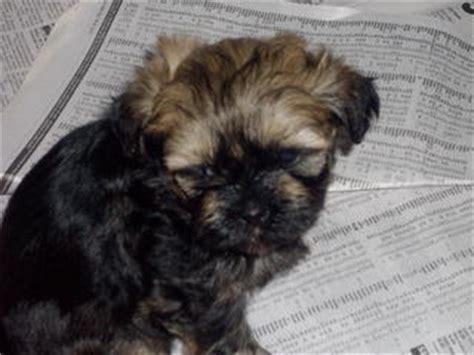 shih tzu free to home newcastle for sale shih tzu x maltese pup