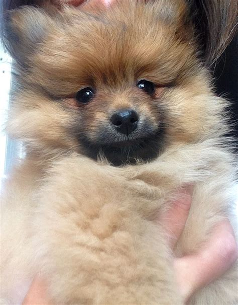 best food for pomeranian puppy best pet best food for pomeranians breeds picture