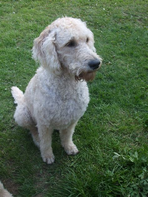 labradoodle haircut pictures labradoodle short curly hair hairs picture gallery