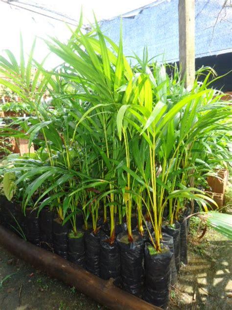 15 Benih Bunga Palmeira Areca Bambu mudas de areca bambu palmeira ornamental 60 cm 15 00 r 15 00 em mercado livre