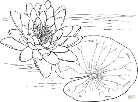 nymphaea mexicana  yellow water lily coloring page