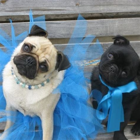 pug in a tutu 224 best images about pug clothes and costumes on apple costume