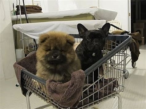 fuzzy chow chow puppy 17 best ideas about pictures on pictures puppies