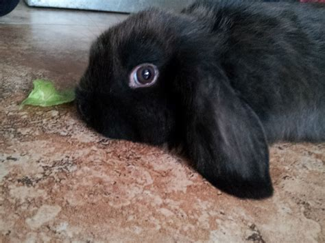 how to neuter a how to determine whether to your rabbit neutered 4 steps