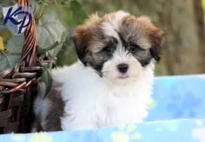 Tyson havanese puppies for sale in pa keystone puppies