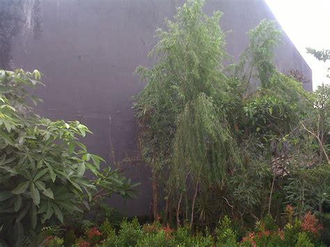 tanaman hias  pohon pelindung tanaman liang liusalix