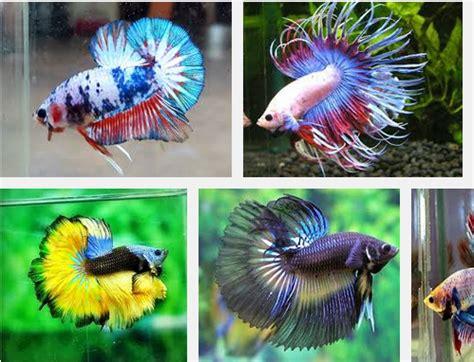 Makanan Terbaik Ikan Cupang Hias inilah makanan ikan cupang terbaik dan bernutrisi tinggi
