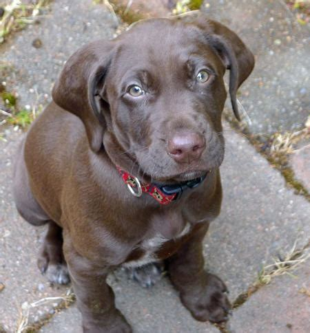 lab pointer mix puppies for sale images of german shorthaired pointer purebred puppies for sale in breeds picture