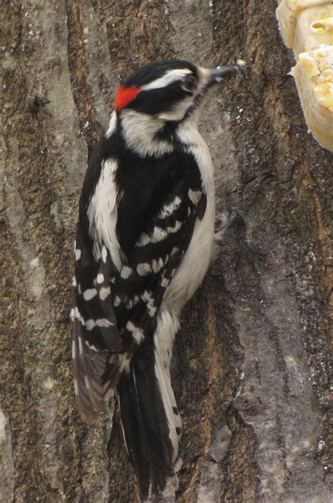 downy woodpecker birds in sutton massachusetts