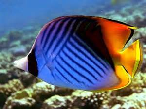 they are butterfly fishes fishey heaven fiona s fish fish google fish