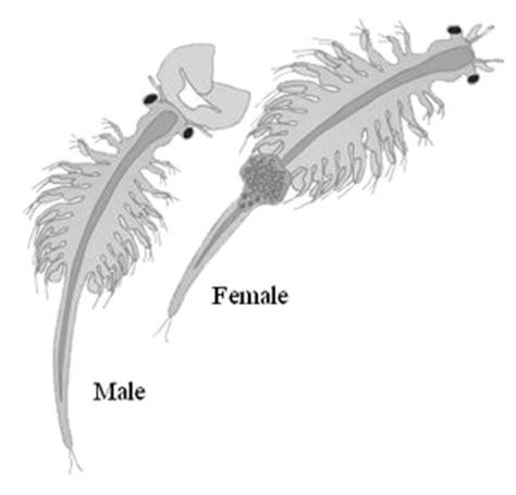 Harga Pakan Ikan Artemia artemia si pakan alami hewan air
