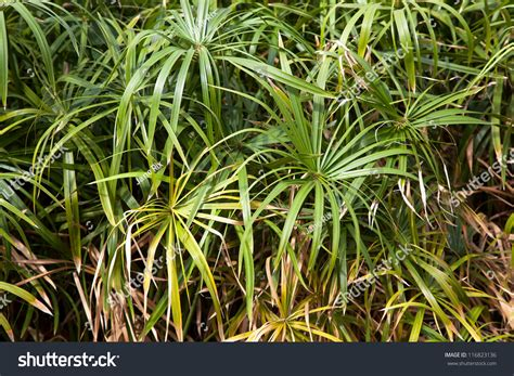 Which Plant Is Used To Make Paper - background papyrus plants papyrus used by stock photo