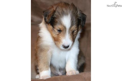 sheltie puppies for sale in nc shetland sheepdog sheltie puppy for sale near raleigh durham ch carolina