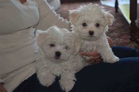 tea cup puppies for sale about teacup puppies for sale breeds picture