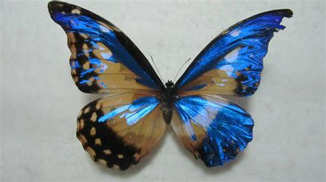 imagenes de mariposas morfo azul amazonas pura inocencia natural