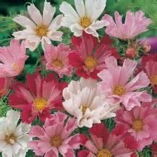 Isi 50 Biji Benih Biji Herb Sweet Marjoram 1 bibit alyssum pastel carpet