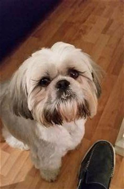 shih tzu wheezing 188 best images about shih tzu on stains shih tzu rescue and pets