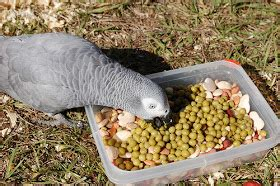 about african grey parrots: how to properly feed african