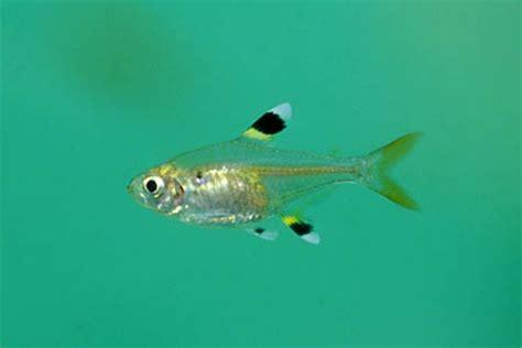 pristella maxillaris – x ray tetra — seriously fish
