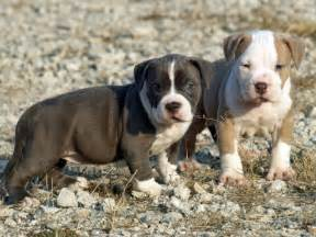 Domestic animal facts blue nose pitbull puppies pitbull puppies are