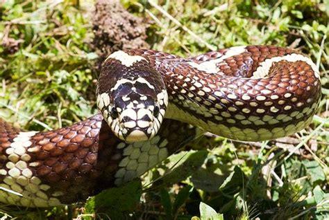 king snake colors common kingsnake lropeltis getula desertusa