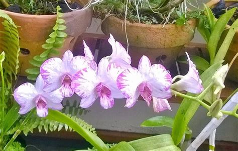 Anggrek Dendrodium Seedling Compactum Splash dendrobium blooming in my balcony orchid board most