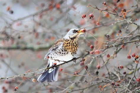 di cesena filiali uccello merlo ces 232 na mangiare le bacche succose su una