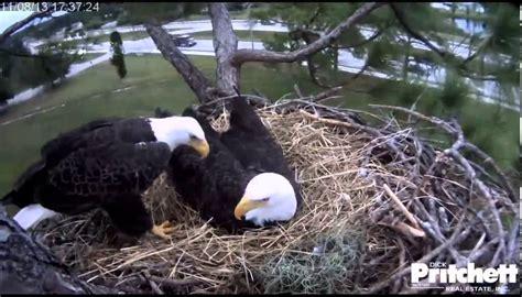 southwest florida eagle cam 2013 11 08 southwest florida eagle cam youtube
