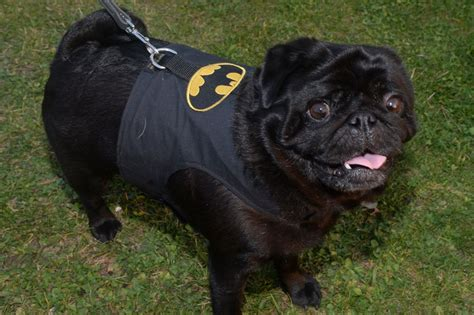 bat pug pug power 14 pictures of adorable pugs in costumes birmingham mail