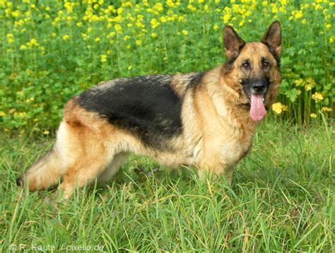 german shepherd puppy names german shepherd names