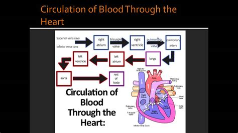 blood flow through the diagram step by step circulation of blood through the blood flow to and