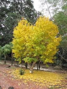 ginkgo tree ginkgo biloba