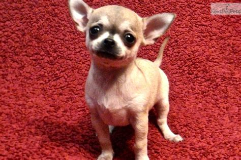 chihuahua puppies for sale in va chihuahua puppy for sale near fredericksburg virginia 93936623 1501
